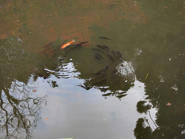 円通寺池 鯉