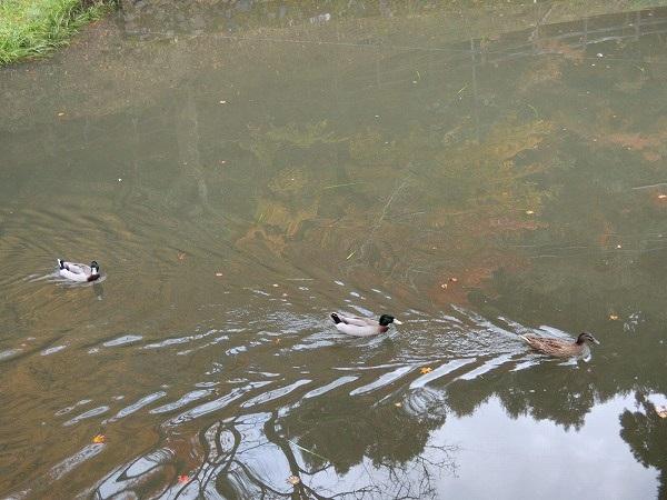 円通寺池の鴨