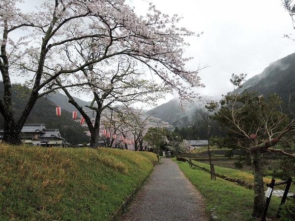 水分かれ公園桜