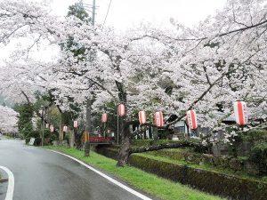 見分かれ公園桜とちょうちん