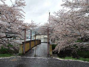 黒井川桜と橋