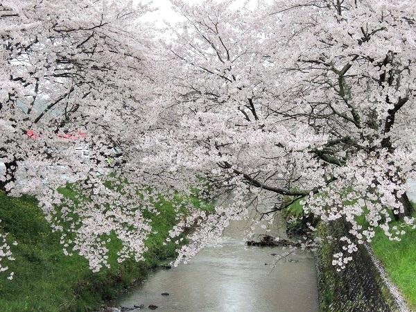 黒井川桜トンネル