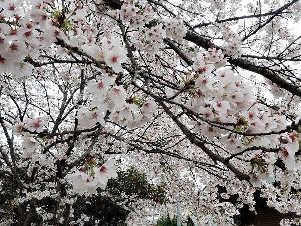 黒井川桜のアップ