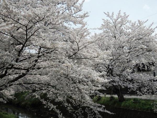 黒井川桜堤
