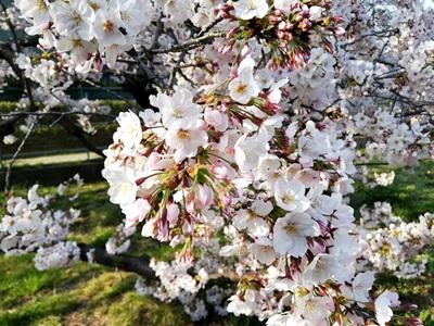 石屋川 桜