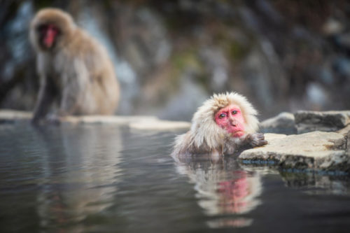 猿が温泉につかっている